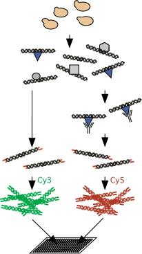 Chromatin Immunoprecipitation Schematic