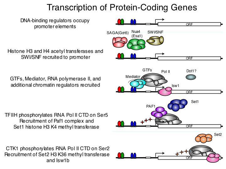 gallery histone modification gene expression